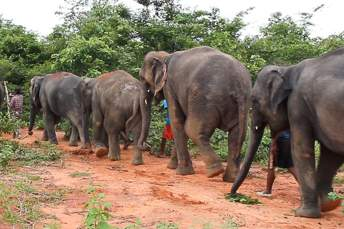 line of elephants walking though a forest