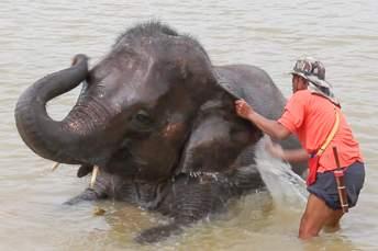 man washing elephant in river