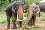 two elephants eating grass