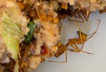 close up of red ant in lahp