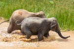 two elephants playing in water