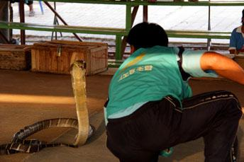 man in front of a cobra