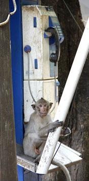 monkey sitting on pay phone