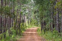road through a pine forest
