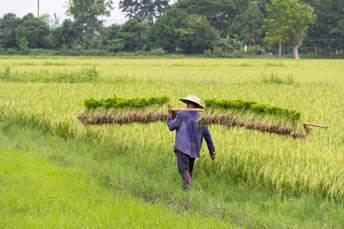 man carrying rice seedlings